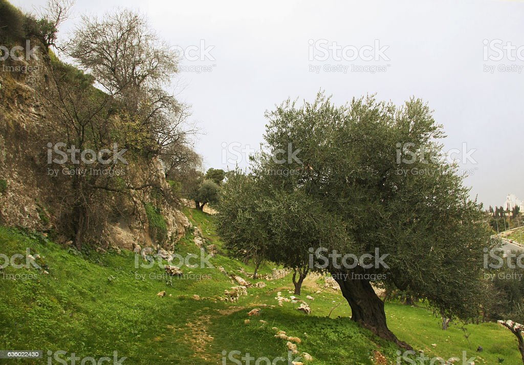 olive tree in the Gehenna stock photo