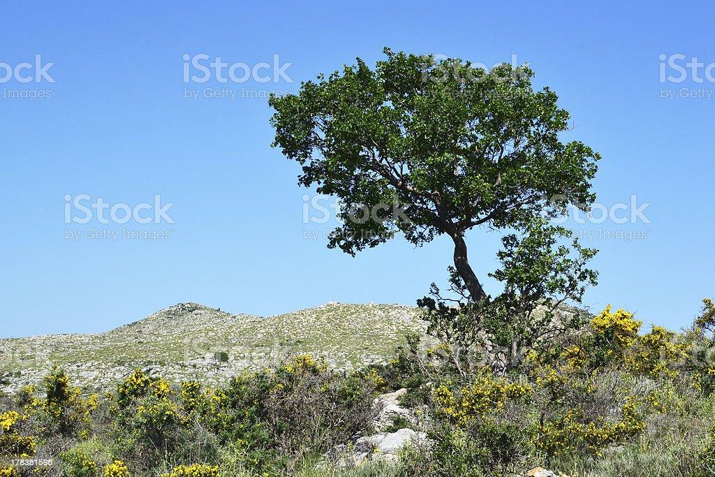 Olive tree in the hillocks. stock photo