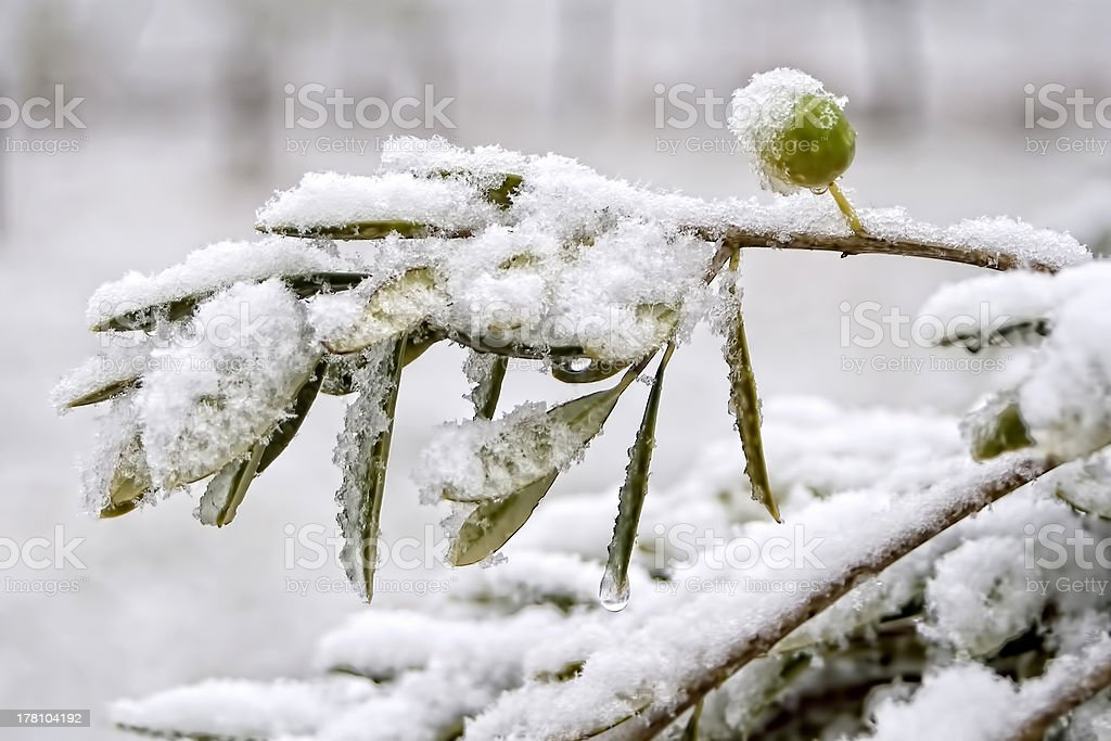 Olive Tree in the Snow stock photo