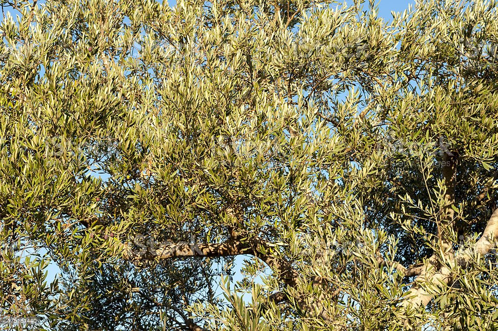Olive tree branches with some ripe olives royalty-free stock photo