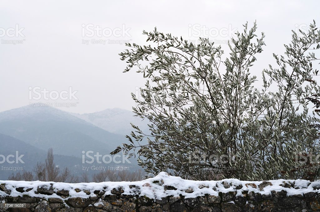 olive tree in winter, Provence, France stock photo