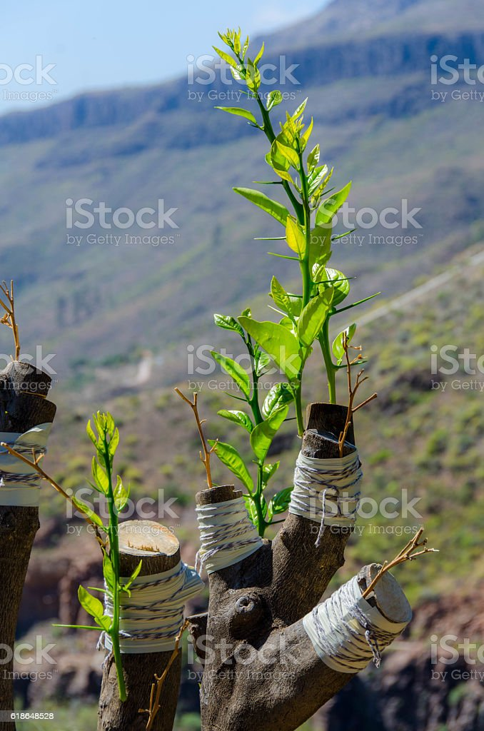Olive tree is grafted stock photo