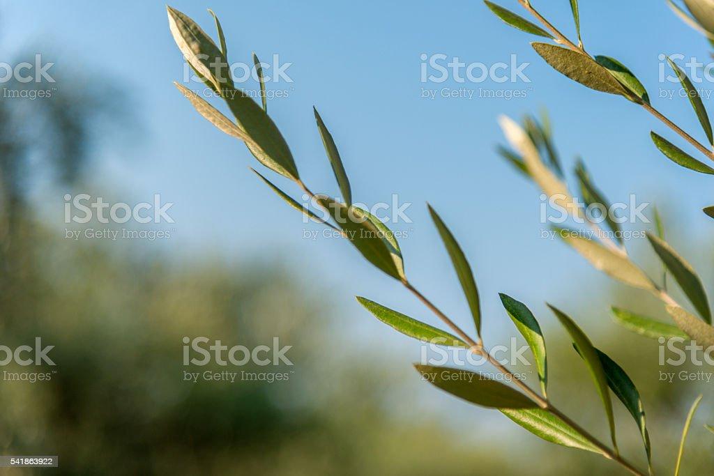 Olive tree leaves olea europea stock photo