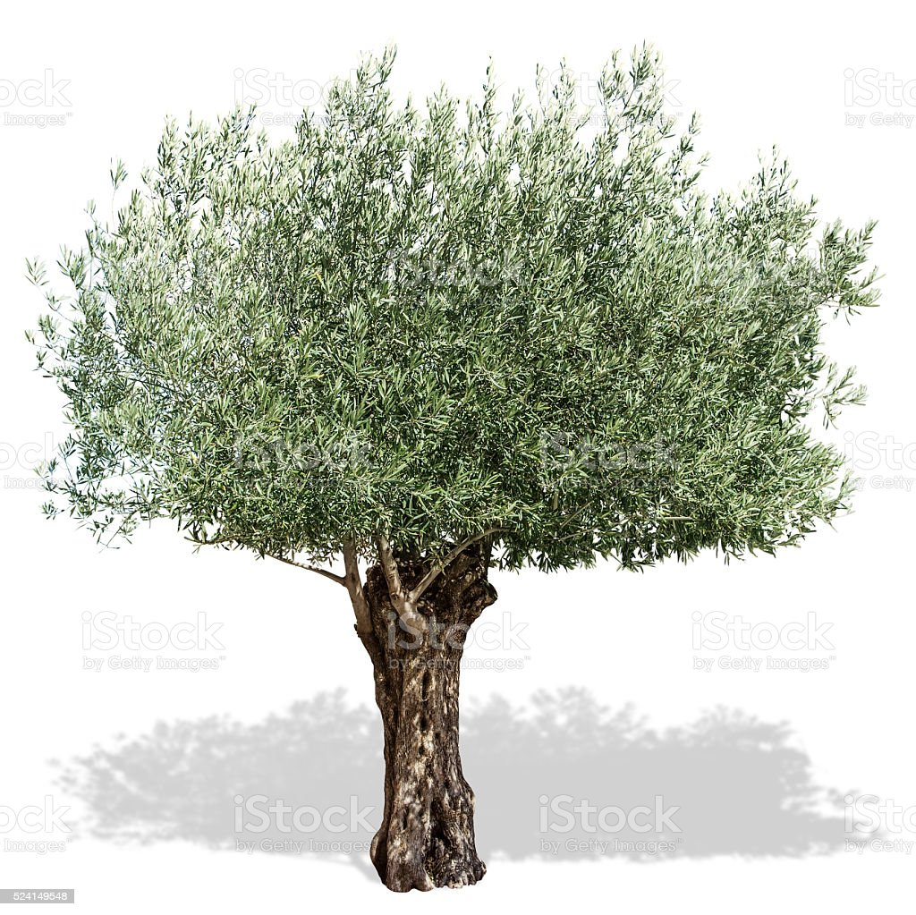 Olive tree on a white background. stock photo