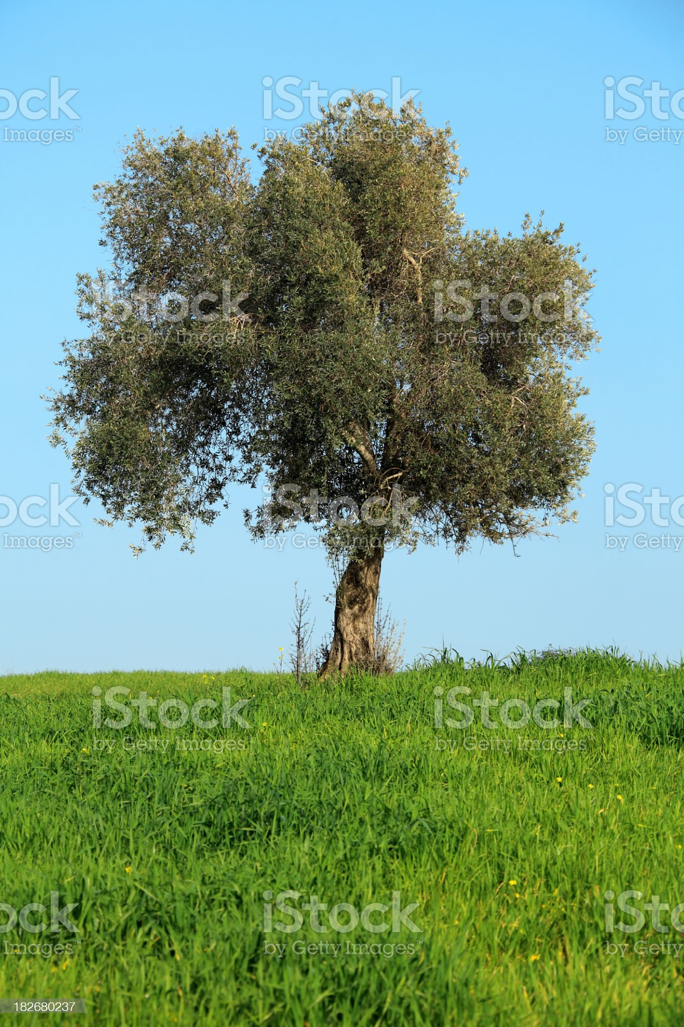 olive tree on green land royalty-free stock photo