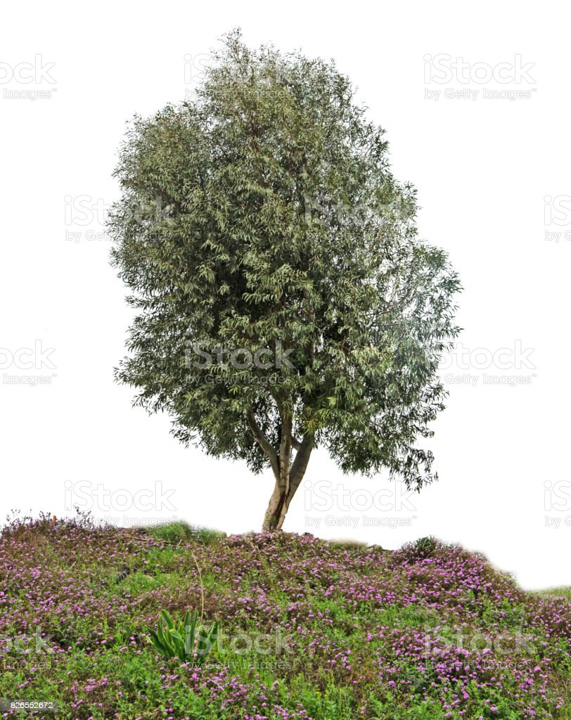 Olive tree on white stock photo