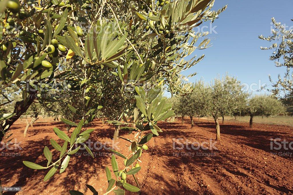 olive tree orchard royalty-free stock photo