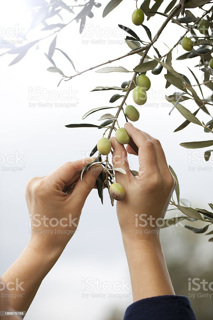 Olive Tree royalty-free stock photo