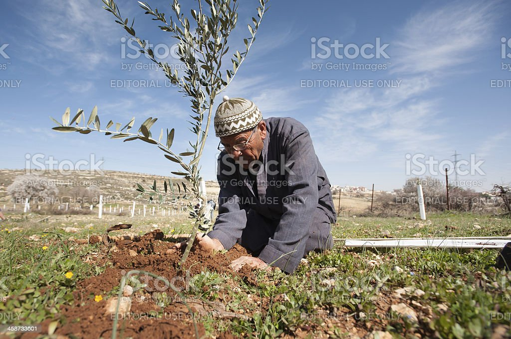 Olive tree planting stock photo