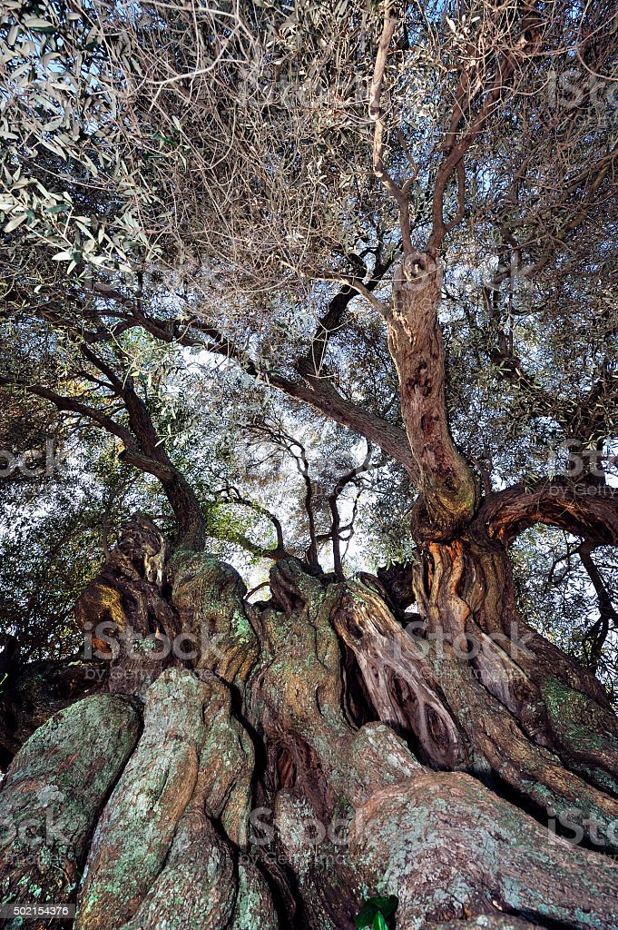 Olive tree secular stock photo