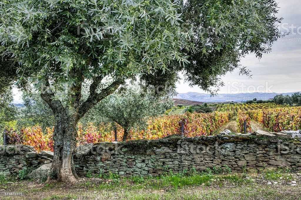 Olive tree, stone fence and colorful vineyard in autumn royalty-free stock photo