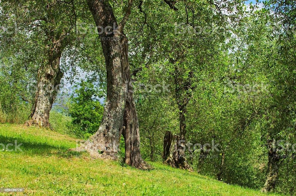 olive tree trunk stock photo