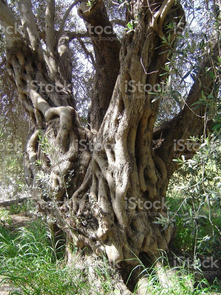 Olive tree trunk royalty-free stock photo