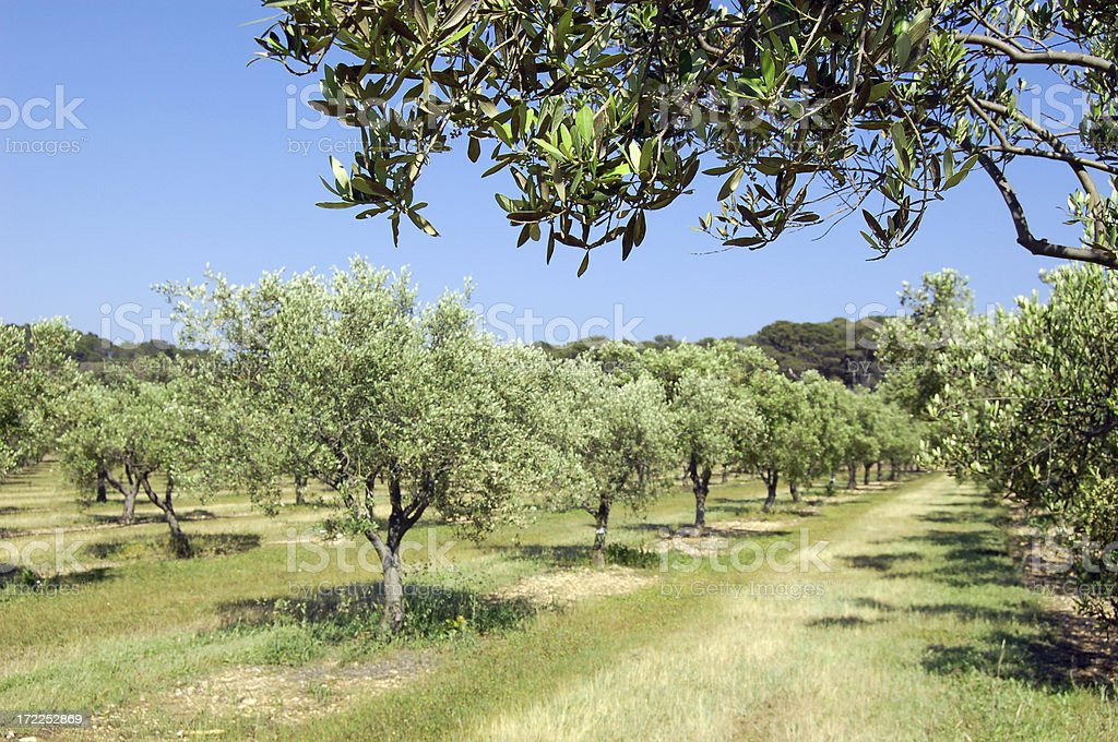 Olive trees about to bloom royalty-free stock photo