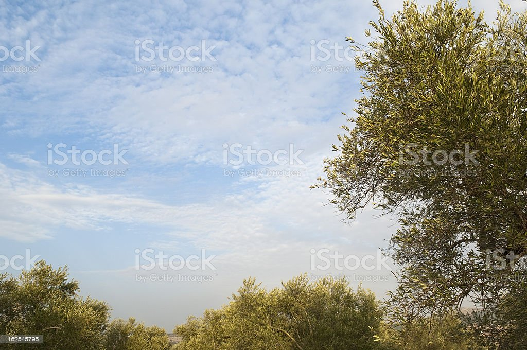 Olive trees and sky in the West Bank royalty-free stock photo