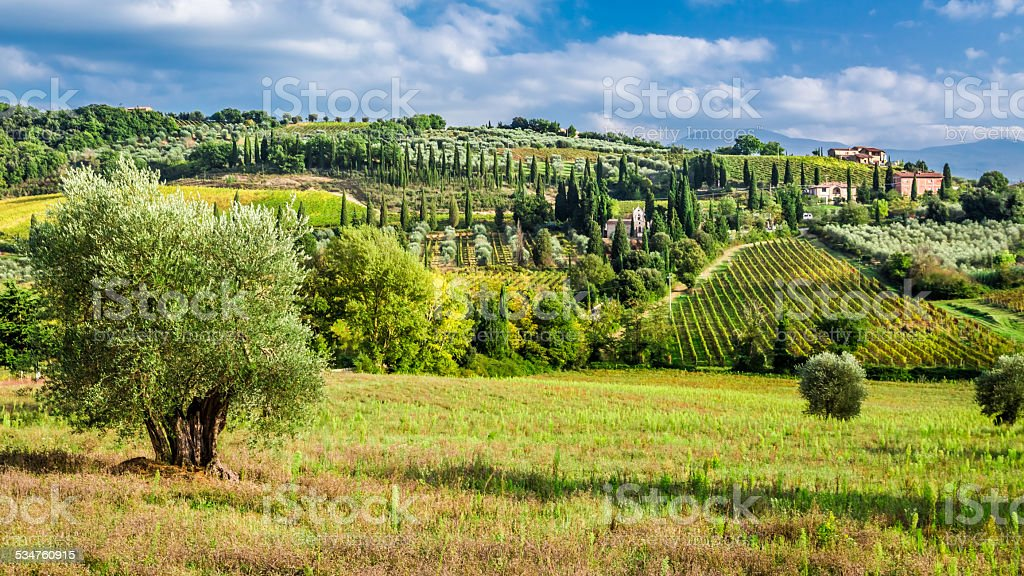 Olive trees and vineyards in Tuscany stock photo