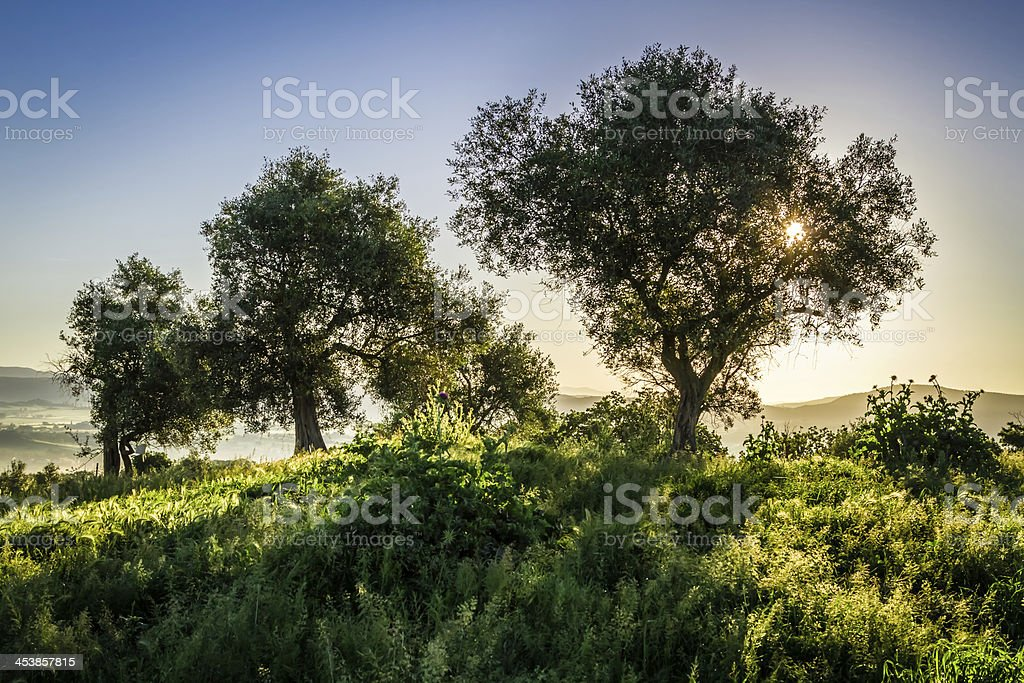 Olive trees at sunrise in summer royalty-free stock photo