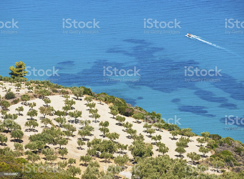 Olive trees behind the blue sea stock photo