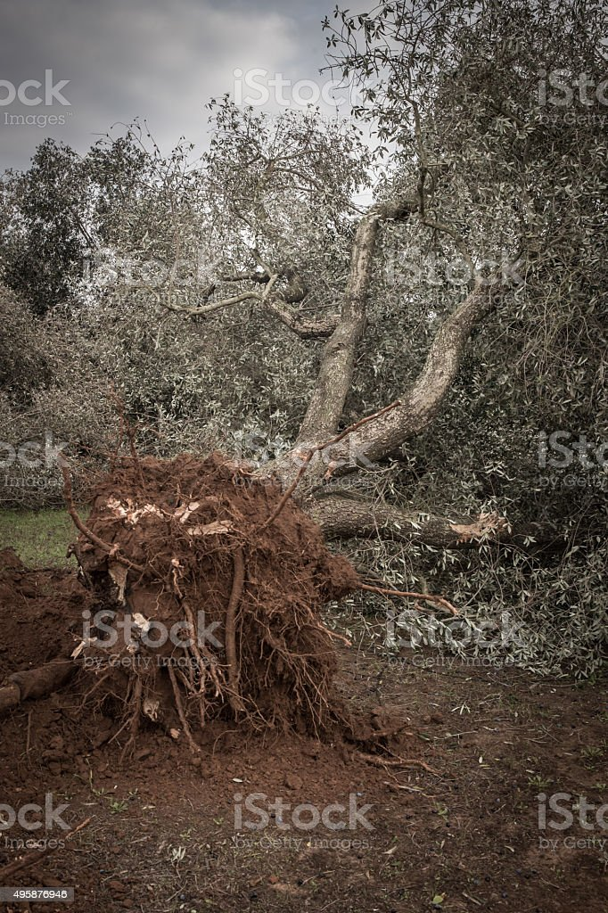 Olive trees cut down because of Xylella stock photo