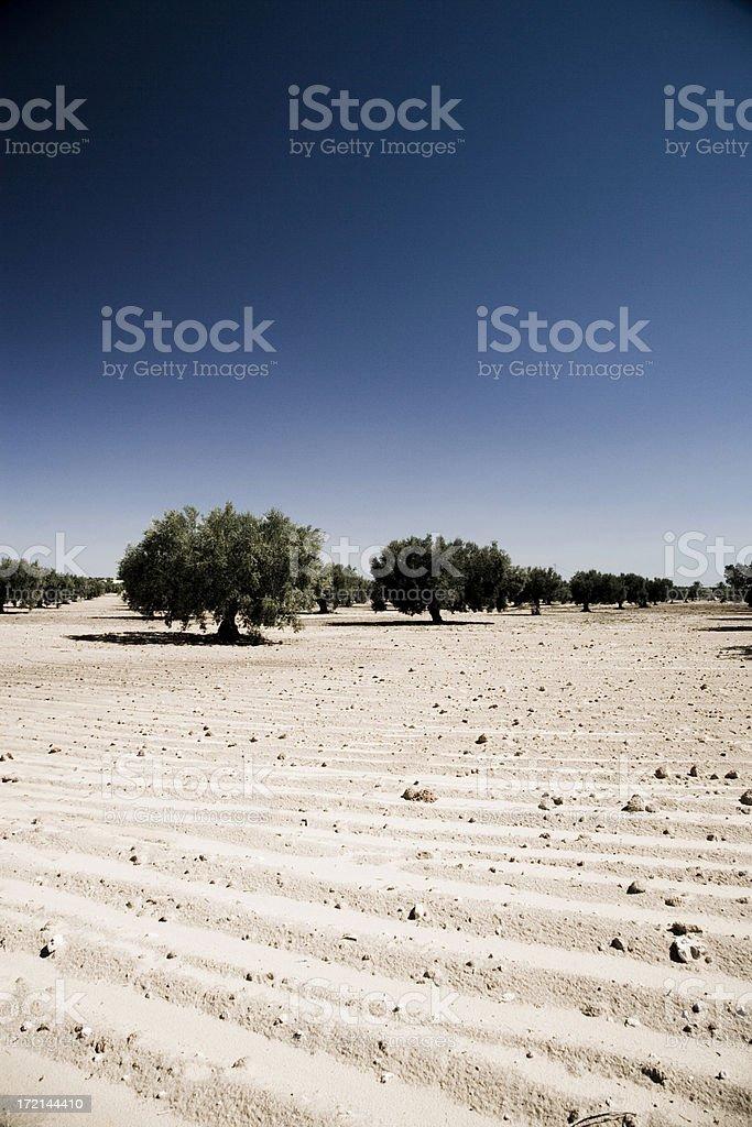 olive trees desert landscape royalty-free stock photo