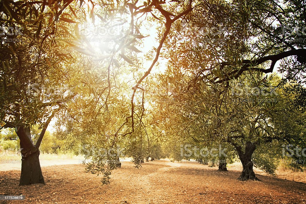 Olive trees farm stock photo