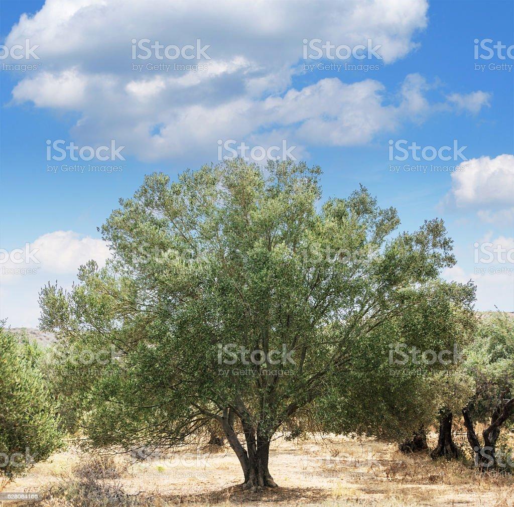 Olive trees garden. stock photo