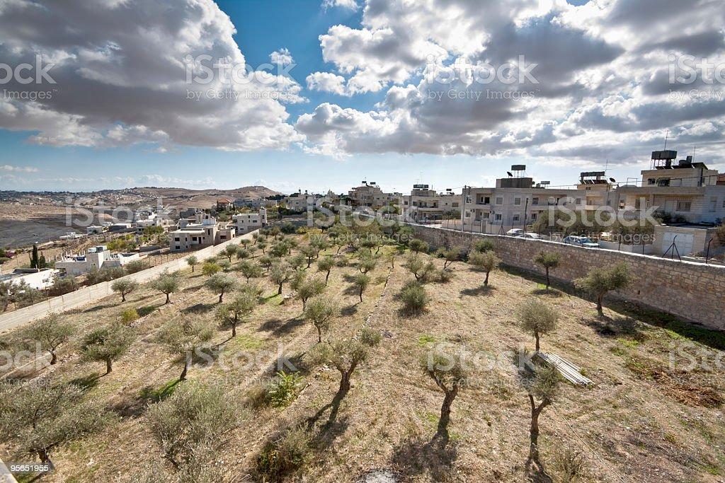 Olive trees in Bethlehem stock photo