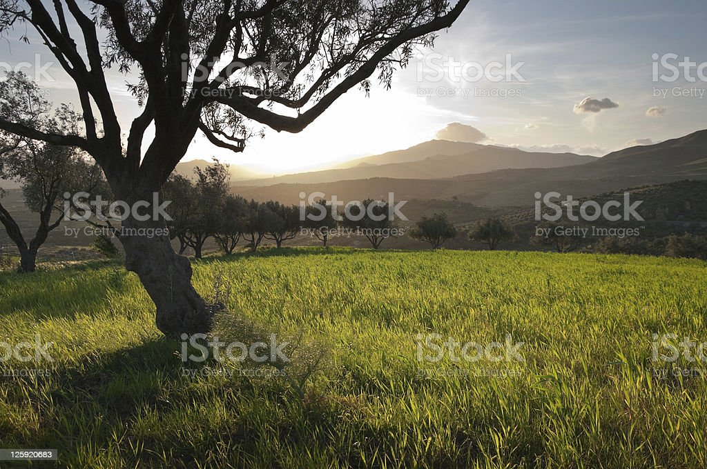 Olive Trees In Field Grass At Sunset royalty-free stock photo