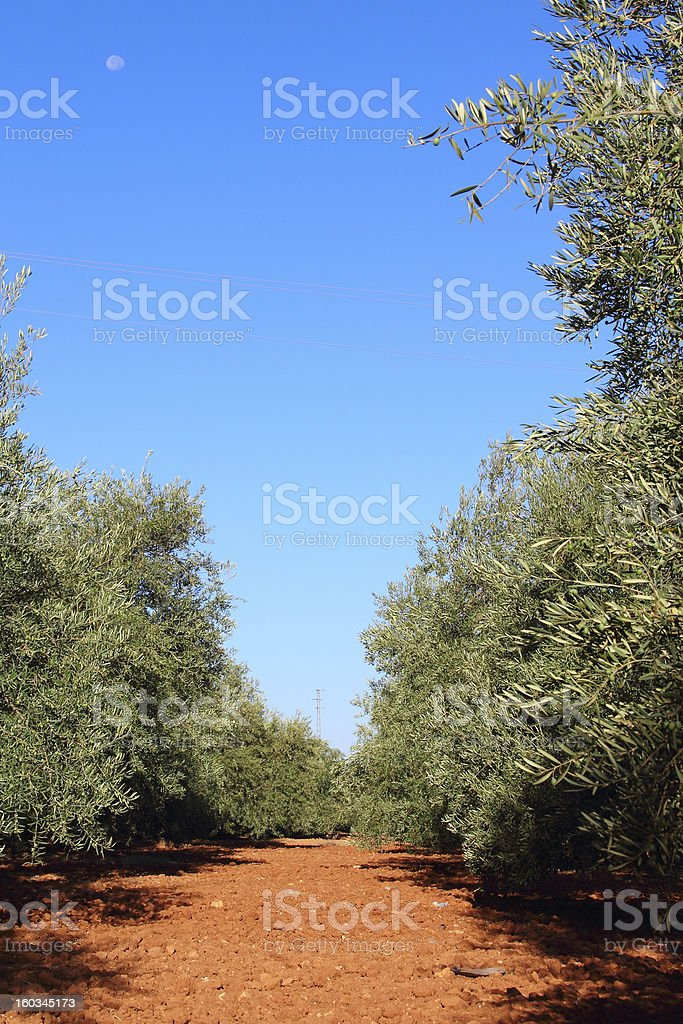 Olive trees in garden royalty-free stock photo