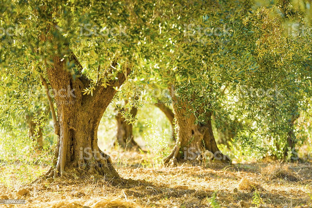 Olive trees in olive grove stock photo