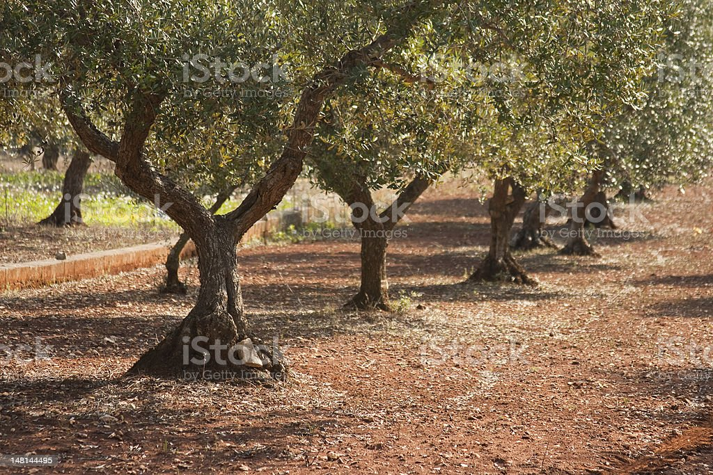Olive trees in Puglia, Italy royalty-free stock photo