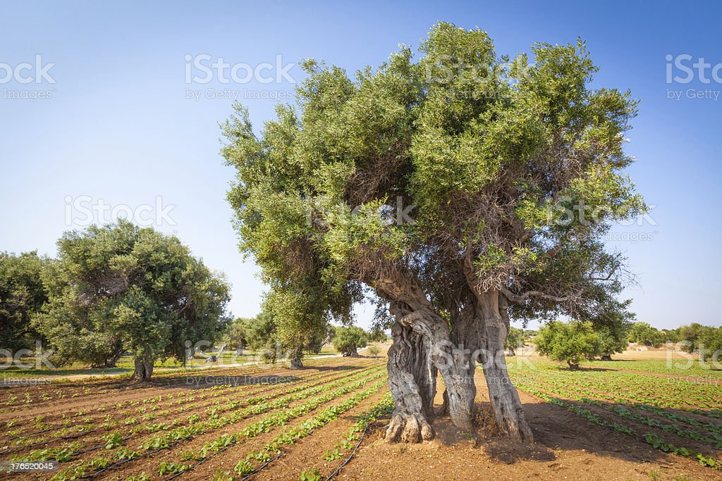 Olive trees in Puglia, Southern Italy stock photo