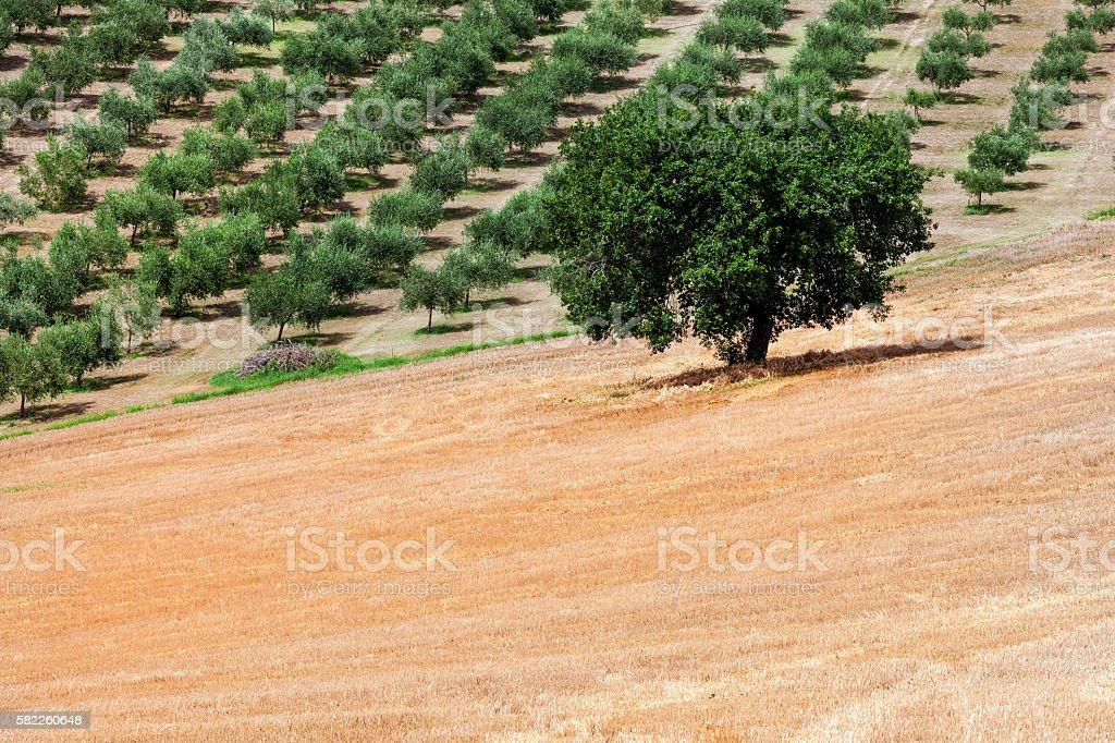 Olive trees in Recanati,Umbria, Italy, Europe stock photo