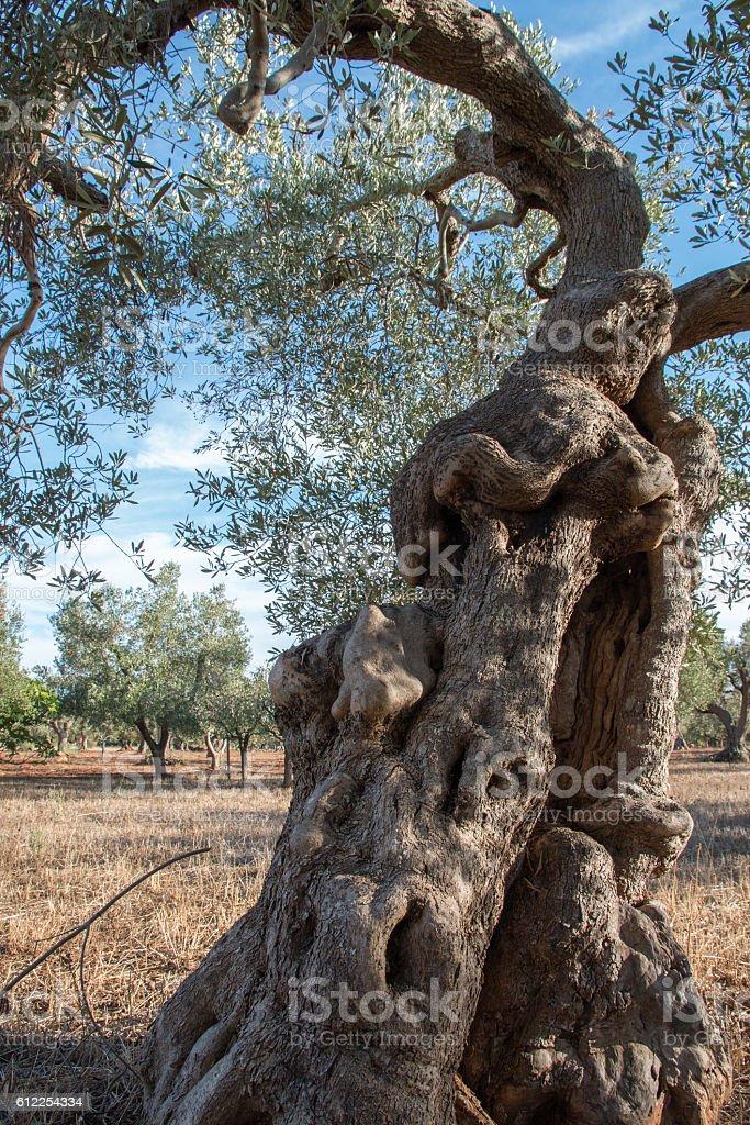 Olive trees in Salento, Italy stock photo