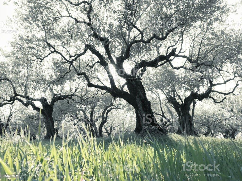 Olive trees in the field grass stock photo