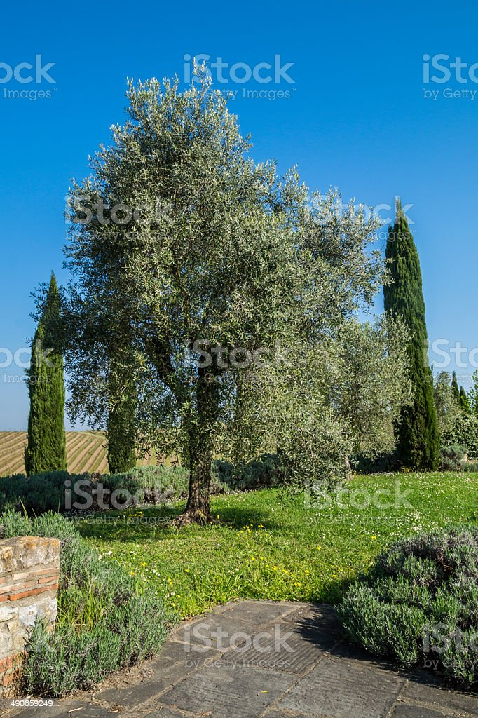 Olive trees in the Springtime, Chianti Hill, Tuscany stock photo