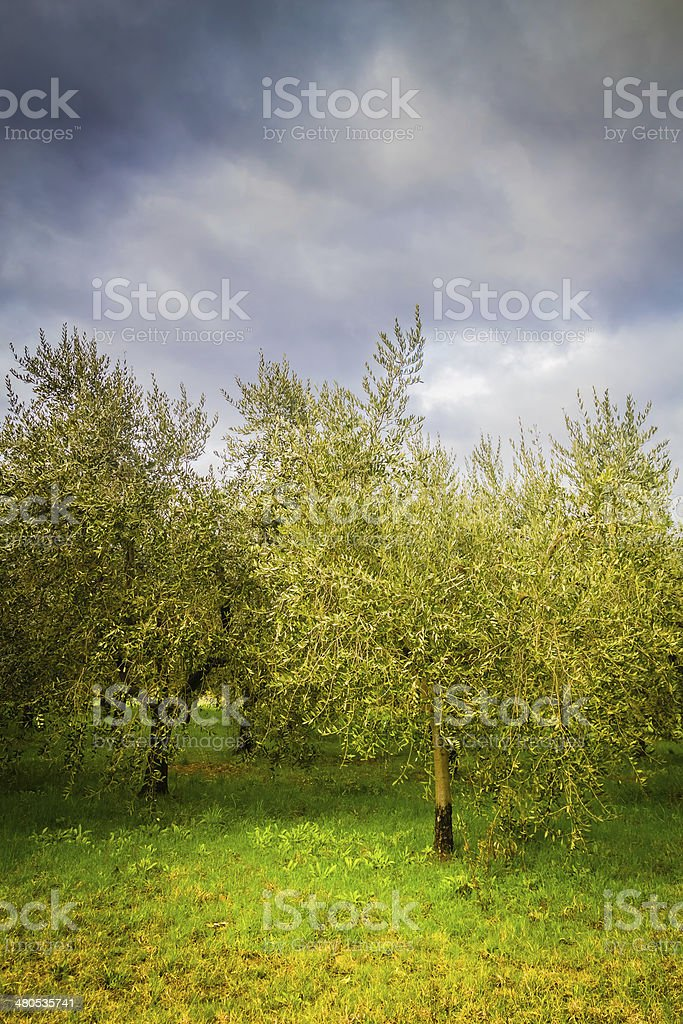 Olive trees in Tuscany royalty-free stock photo