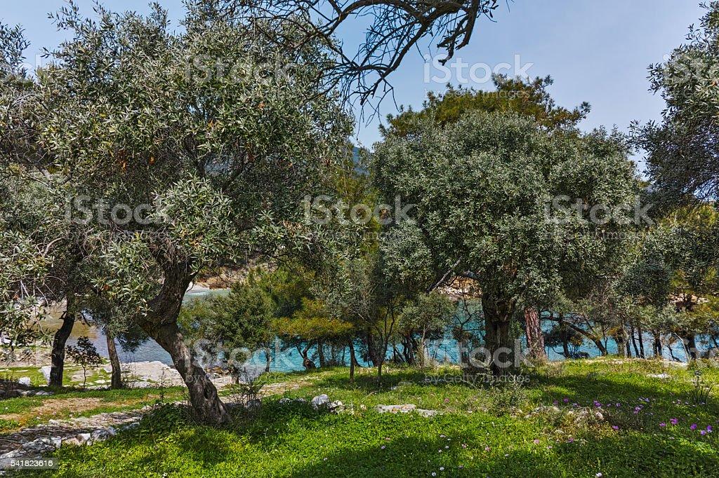 Olive trees in village of Aliki, Thassos island, Greece stock photo