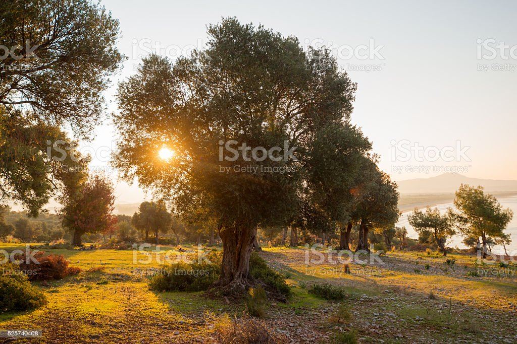 olive trees, landscape nature stock photo