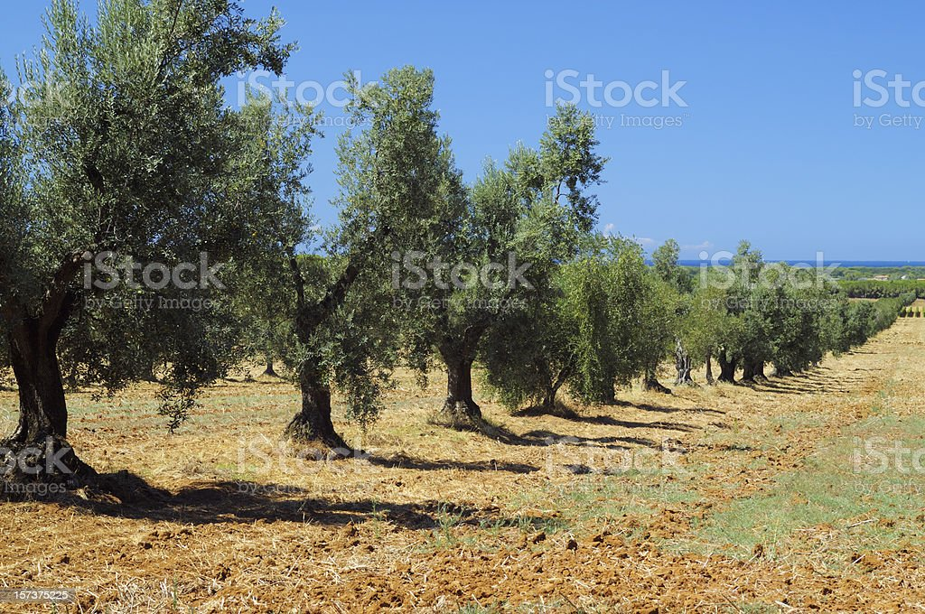 Olive Trees Landscape royalty-free stock photo