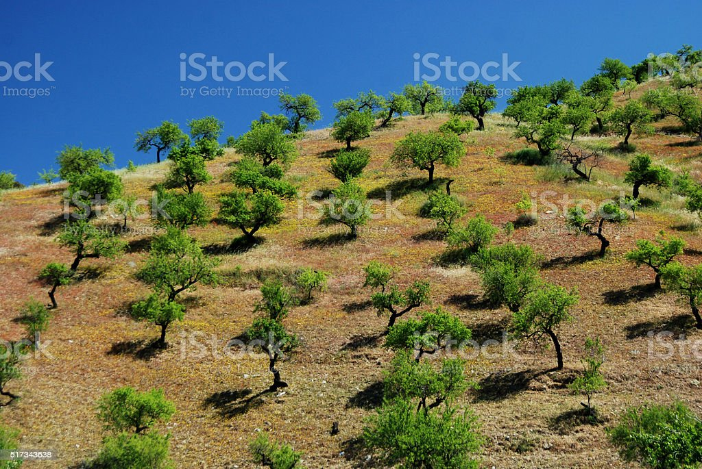 Olive trees on a hill in Andalusia, Spain stock photo