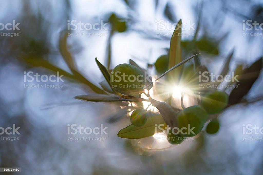 Olive trees on sunset stock photo