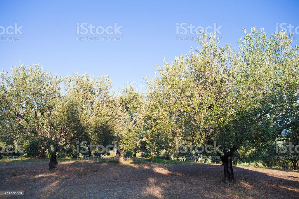 Olive Trees royalty-free stock photo