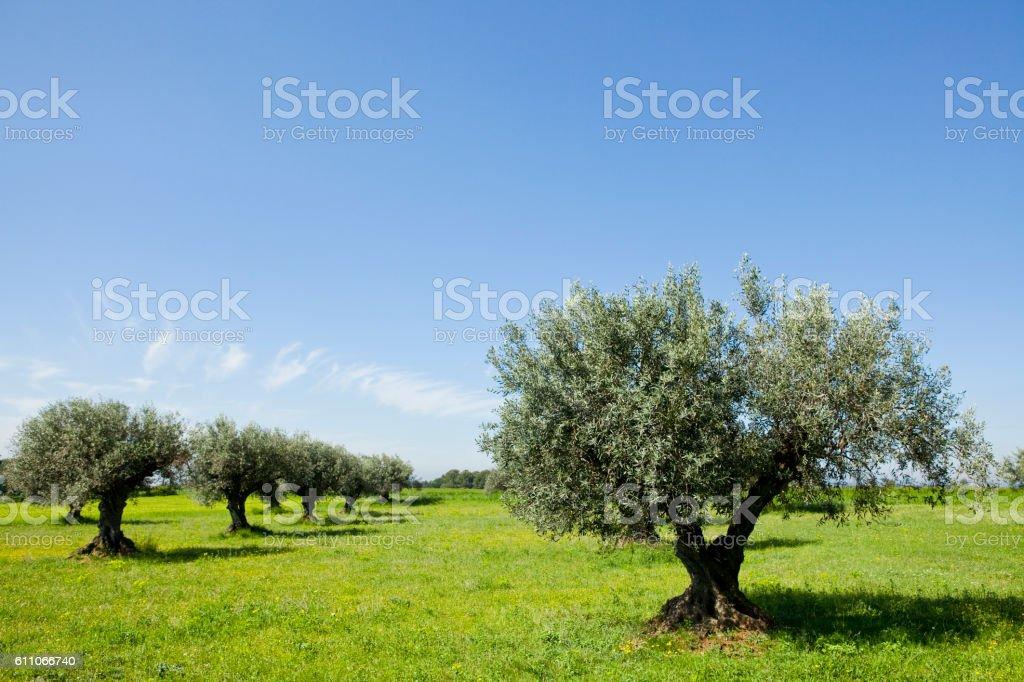 Olive trees stock photo