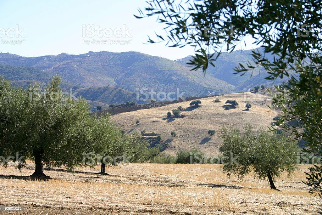 Olive trees royalty-free stock photo