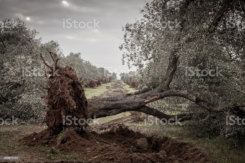 Olive trees uprooted by the Xylella stock photo