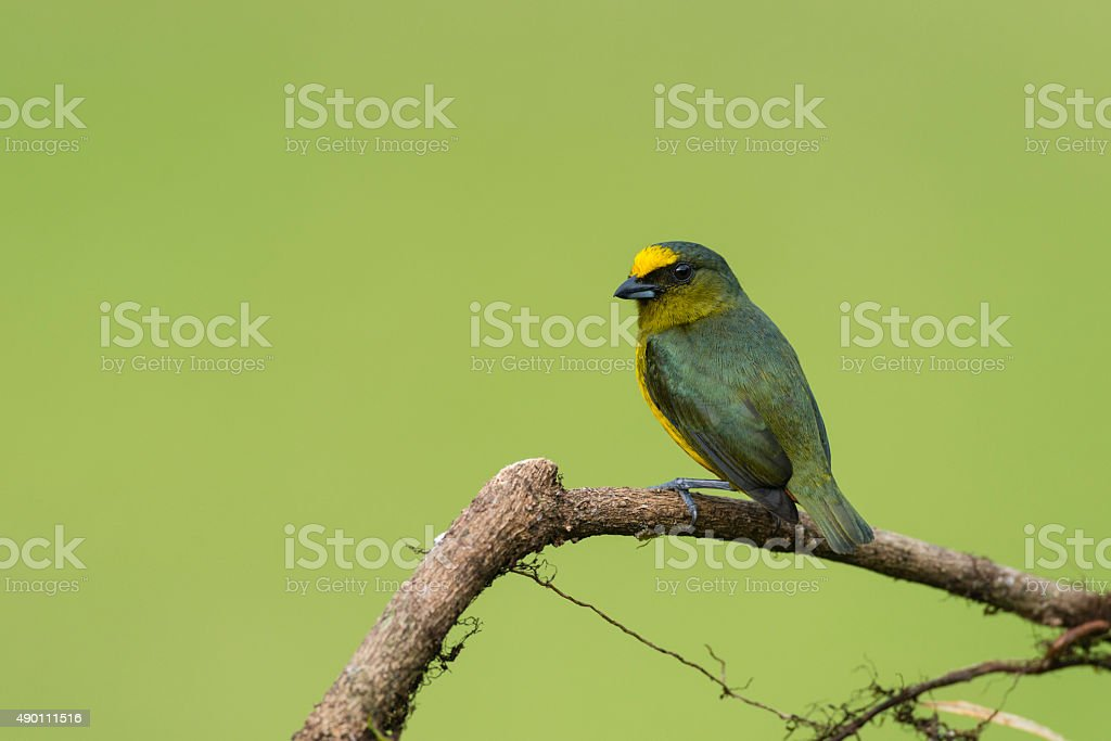Olive-backed Euphonia male, bird in Costa Rica, Euphonia Gouldi, tanager stock photo