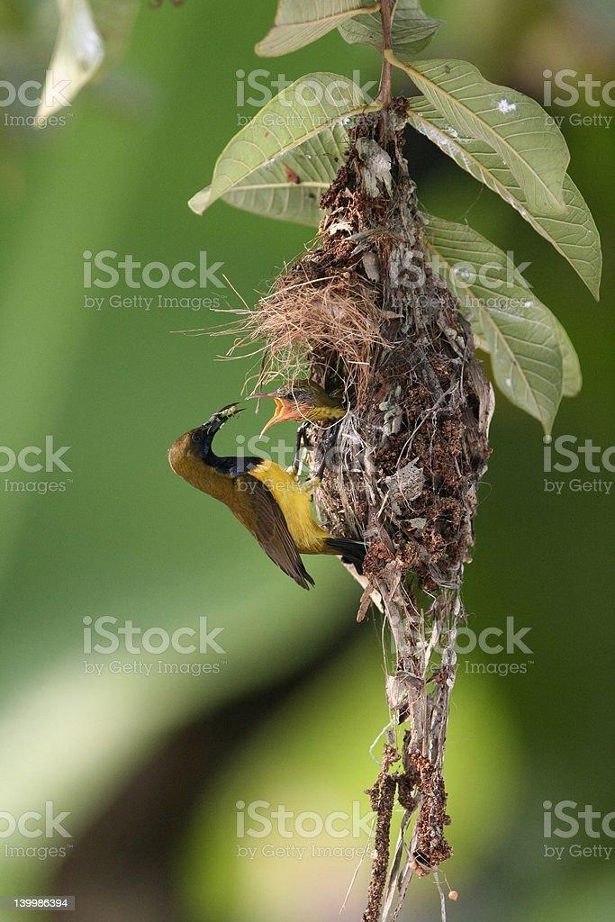 Olive-backed Sunbird royalty-free stock photo