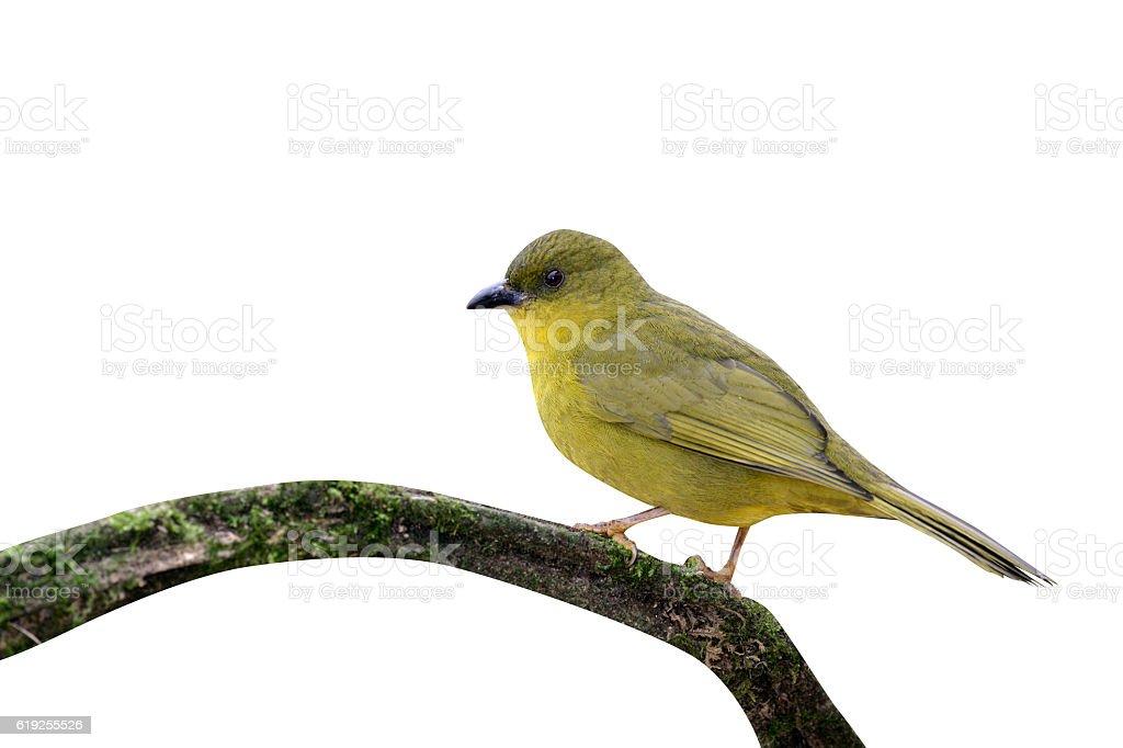 Olive-green tanager, Orthogonys chloricterus stock photo