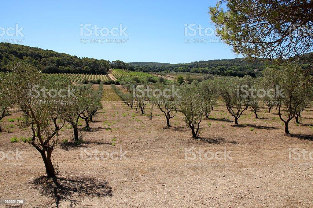 Olivenhain stock photo